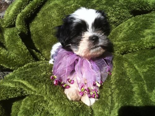 black and white shih tzu puppy, puppies for Sale in Manteca