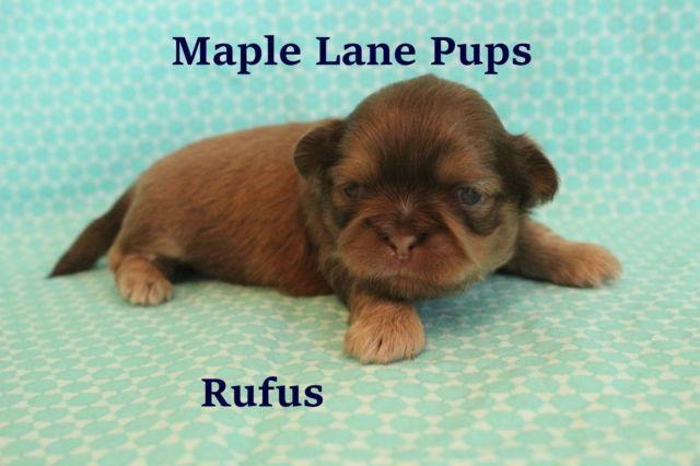 *Rufus* Stunning Orange Liver Shih Tzu Puppy! Quality Home Raised!