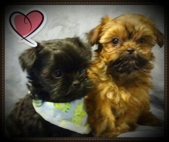 Shorkie puppies!!!!! (shih tzu x yorkie) for Sale in