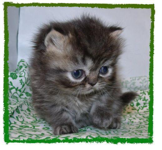 CFA Persian Kittens ~ Valentines Cuties ~ Purebred