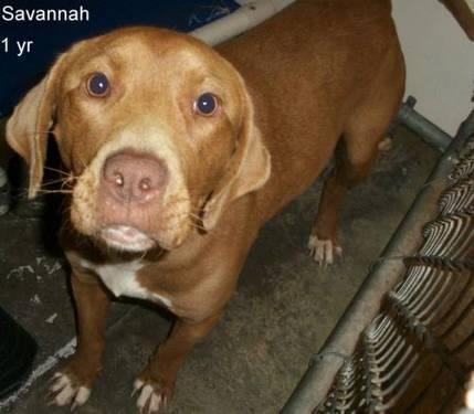 Chocolate Labrador Retriever - Aidan Very Urgent Out Of Time