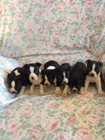 Boston terrier pups AKC vet checked purebred