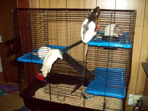 4 pets rat w/ cage