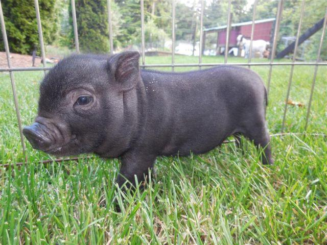 miniature micro teacup baby pigs wa state we ship for sale in