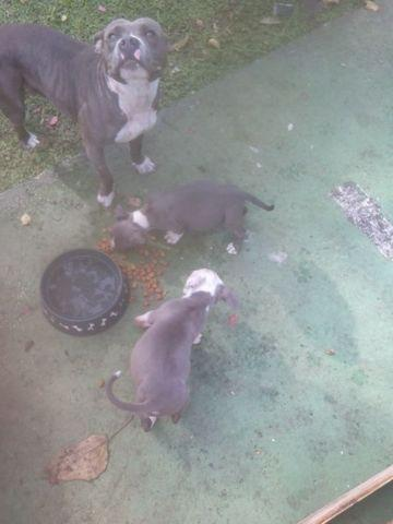 pitbull puppy wanted $100