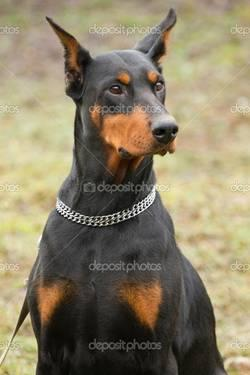 Doberman Wanted