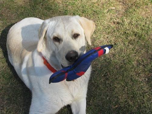 Lap Dog Wanted!