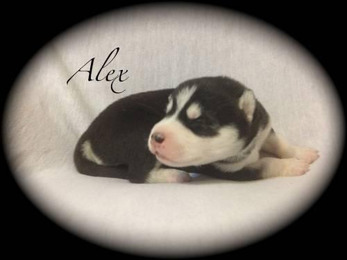 Siberian Husky puppies-AKC-purebred-(1 week old)