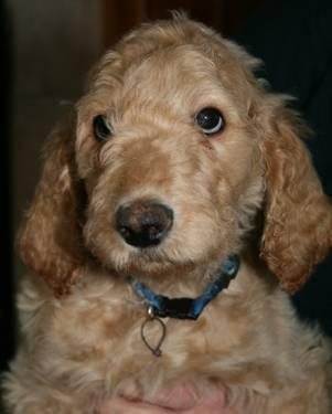 F1b Goldendoodles 9 weeks of age