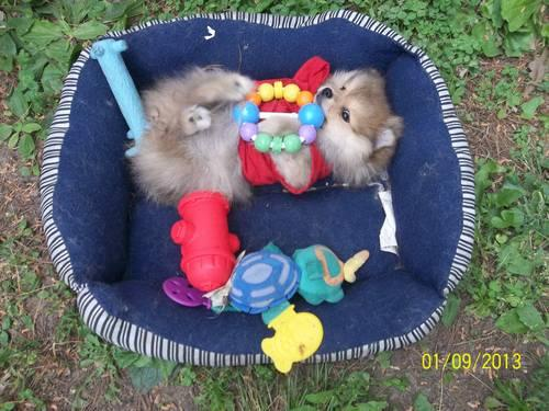FULL BLOODED POMERANIANS -8 WEEKS OLD -FOR SALE