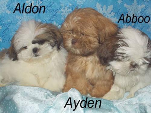 Adorable Shih-Tzu puppies-11 weeks old