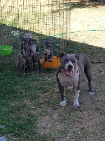 Pitbull puppies 9 weeks old stanford.lines