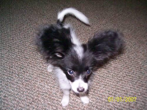 AKC Papillon Puppies! Happy Healthy well socialized, health quarentee