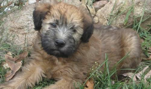 soft coated wheaten terrier shedding well socialized soft coated wheaten terrier pups non 572