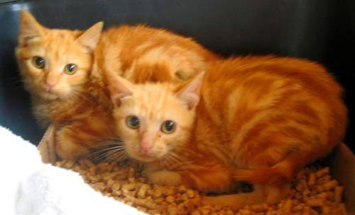 Domestic Short Hair - Orange and white - Angel, Abigail, & Ariel