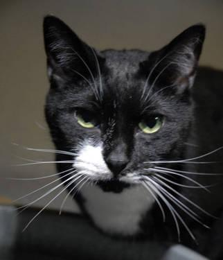 Domestic Short Hair - Black and white - Hattie And Harvey
