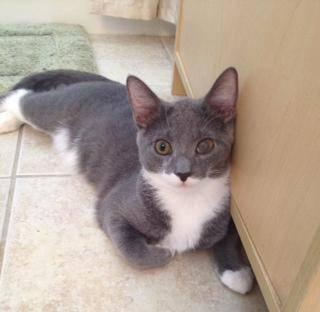 Domestic Short Hair - Gray and white - Lenny - Very Snuggly!