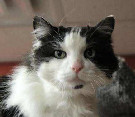 Domestic Long Hair - Black and white - Morris - Declawed