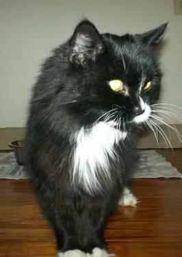 Domestic Long Hair - Black and white - Pepper Urgent - Medium