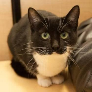 Domestic Short Hair - Black and white - Petunia The Tuxedo