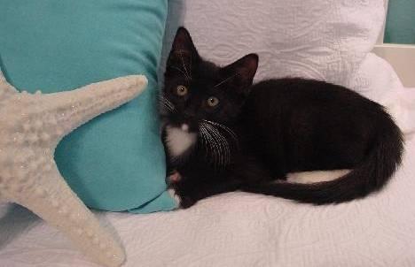 Domestic Short Hair - Black and white - Prius (lb) - Small