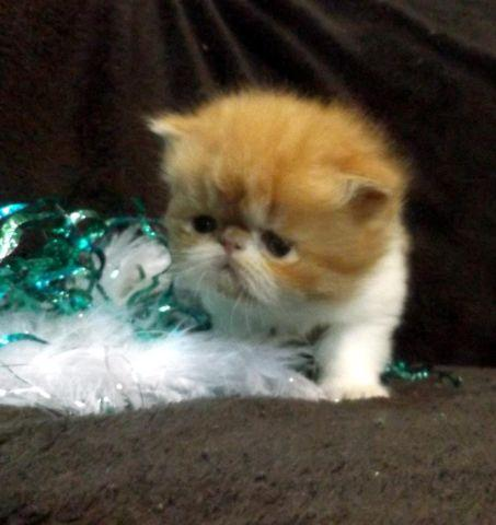 Show Quality Gorgeous Red and White Baby Bi Color Persian