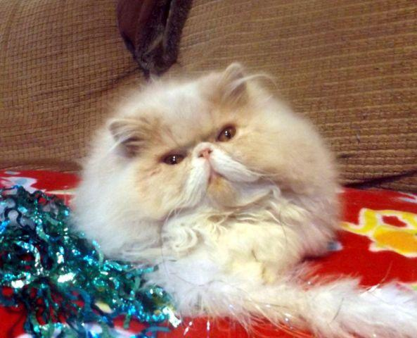 Gorgeous Show Quality Cream and White Bi-Color Persian Kitten