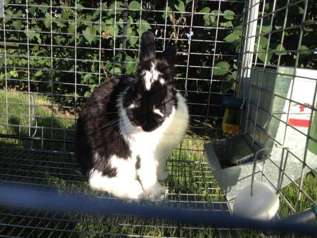 Lovely black and white dwarf bunny
