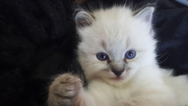 Turkish Angora Green Eyes White Male Kitten