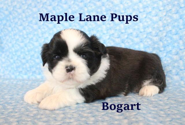 *Bogart* Stunning Dark Gold & White Male Shih Tzu Puppy!