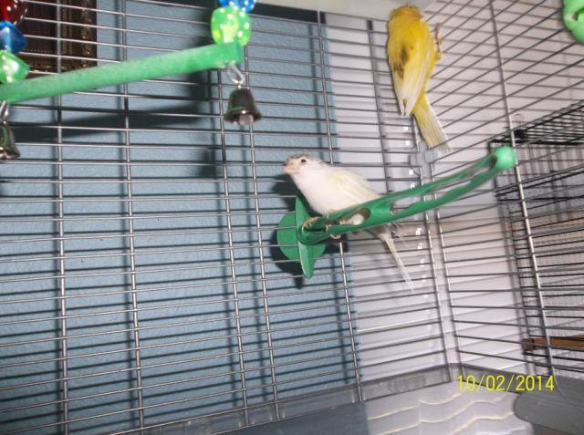 2 Beautiful crested canaries, one white, one yellow, low priced.