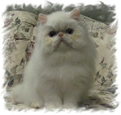 seal point himalayan and blue eyed white persian male
