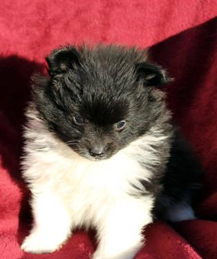 Reduced! Adorable Black and White Pomeranian Male Puppy
