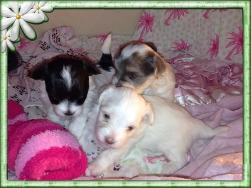HAVANESE CHOCOLATE & WHITE PUPPIES