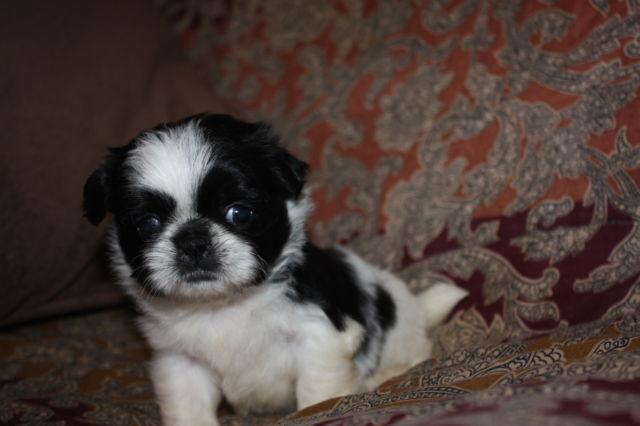 SMALL AKC BLACK AND WHITE SHIH TZU PUPPIES for Sale in