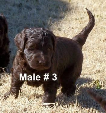 Goldendoodle Newbies are here now and will be ready Dec. 12th 2012