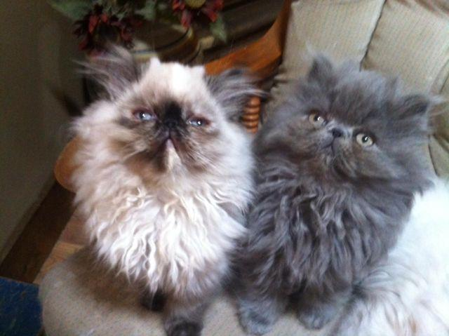 HIMALAYAN KITTENS AVAILABLE NOW, WILL HOLD FOR CHRISTMAS for