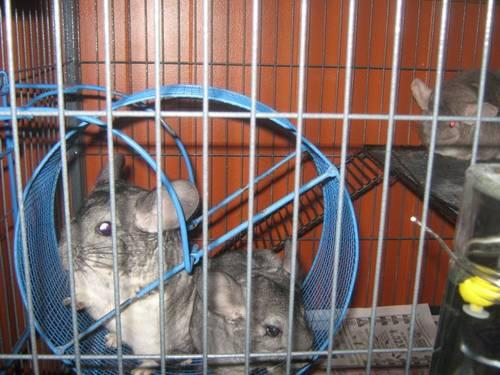 Dash and Febe Male and Female Chinchillas with 2 story cage, food +