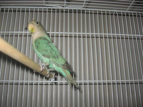 Blue Love Bird with Cage
