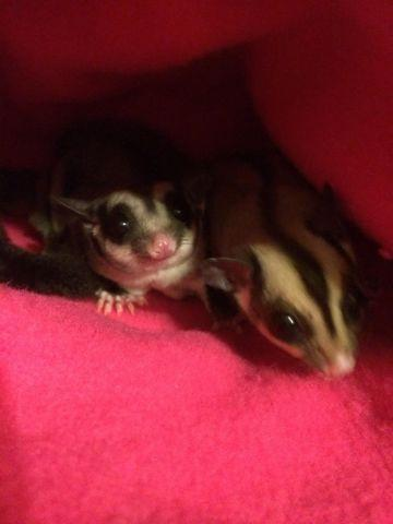Two Female Sugar Gliders with cage and accessories