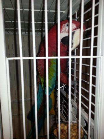 Macaws For sale with Cage Included