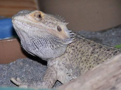 young bearded dragon with complete setup
