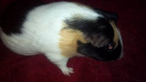 2 MALE GUINEA PIGS 8 MONTHS OLD (with large c&c cage, food, and all)