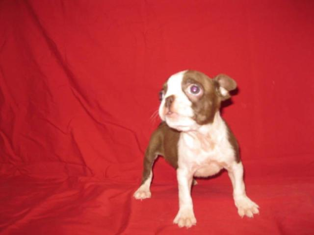 2 SOLID WHITE FEMALE BOXER WITH PATCH ON THEIR FACE