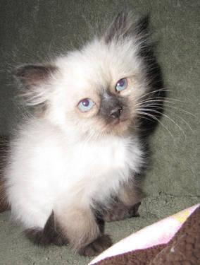 Ragdoll Birman Kitten Purebred 8 WKS Gorgeous 1 Left