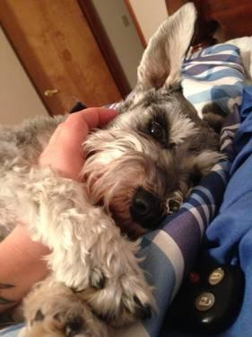 A very loving 3 year old Miniature Schnauzer