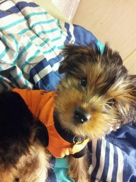 Calling all Yorkie and yorkie mix owners!