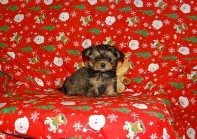 Beautiful Shorkie (Shih Tzu & Yorkie mix) puppies for sale  for Sale