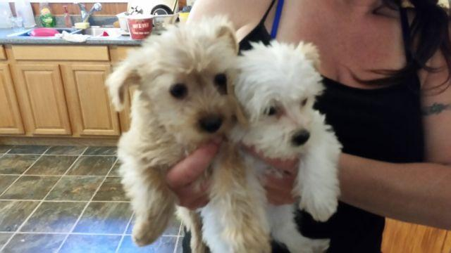 2 Female Morkie Puppies Maltese Yorkie Mix Ready 7 22 For Sale In