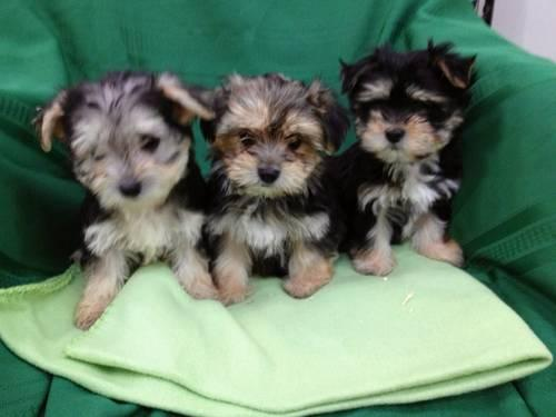 Beautiful Morkie Maltese Yorkie Puppies For Sale In Amissville